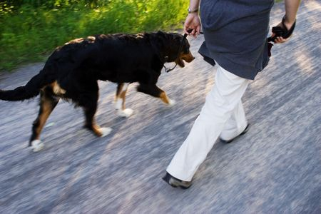 bernese: a dog walk Stock Photo