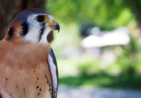 Peregrine Falcon Portrait photo