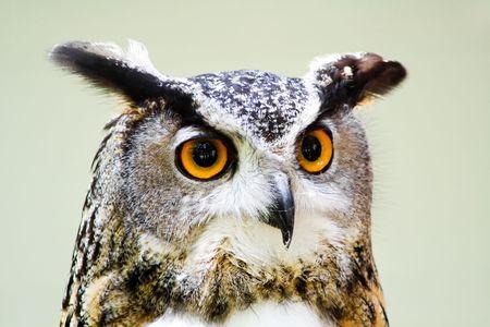scavenger: Great Horned Owl Stock Photo