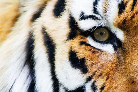 felidae: Tiger eye