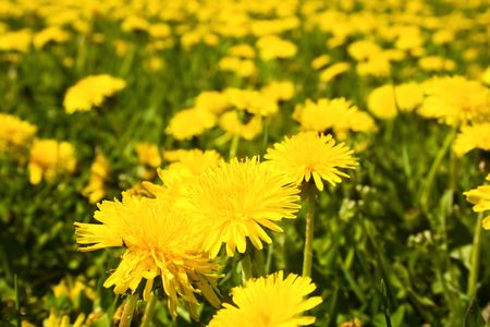 A beautiful yellow dandelions field Stock Photo - 2045403