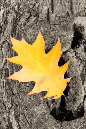 Dead oak leaf on a tree background photo