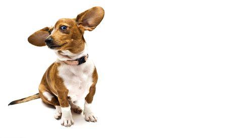 Sweet Dachshund ( teckel ) dog sitting on a white background Stock Photo - 3607841