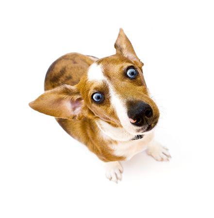 Sweet Dachshund ( teckel ) dog sitting on a white background Stock Photo - 3607854