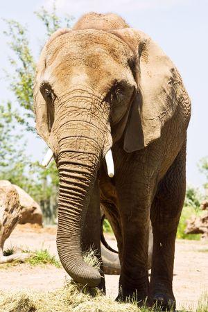 samburu: Big Elephant Walking in the zoo