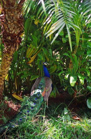 demure: A demure peacock retreats into Ti plants at Waimea Falls Park on Oahu, Hawaii. Stock Photo