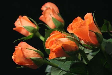 rosas naranjas: Orange rosas con fondo negro.