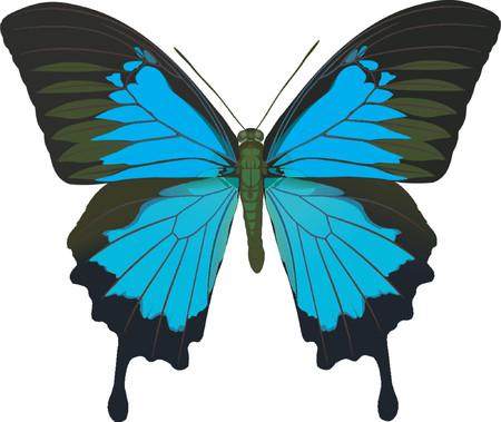 papilio: Papilio Ulysses
