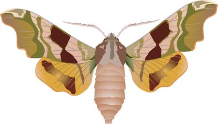 lime hawk-moth Stock Vector - 421129