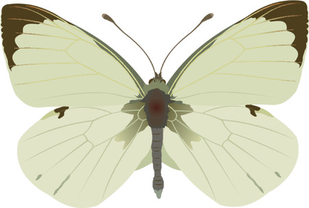 cabbage white butterfly Stock Vector - 421132