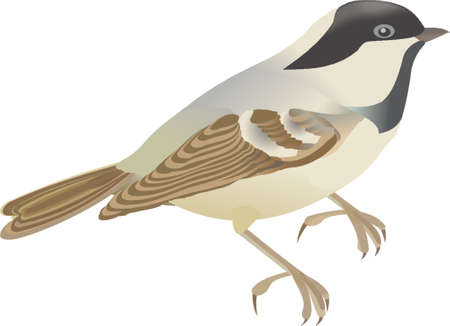 carbonero: titmouse