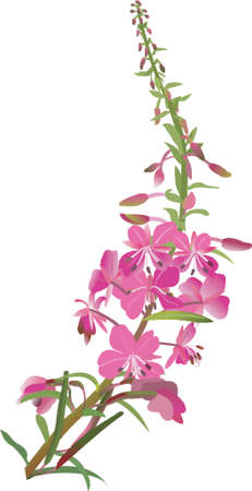 weed: fire weed