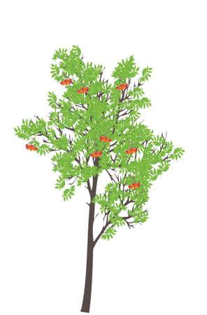 ashberry: rowan-tree