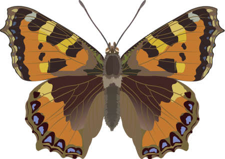 tortoiseshell: small tortoiseshell butterfly