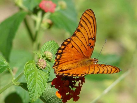 lantana: Gulf Fritillary Butterfly on Lantana