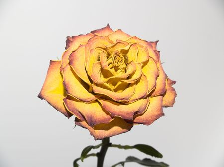 withering: Withering yellow-orange rose. bud of the dried up petals.