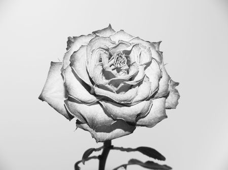 Silver rose photo