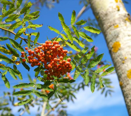 bunchy: Stem ashberry Stock Photo