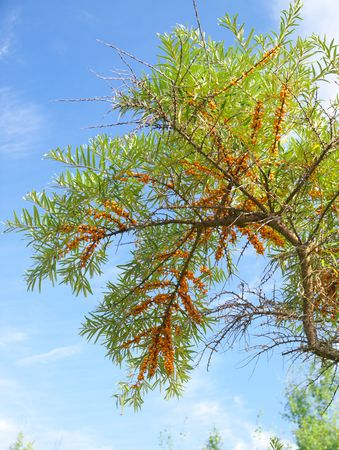 gracefully: Gracefully curved Seabuckthorn against the blue sky serene autumn day.