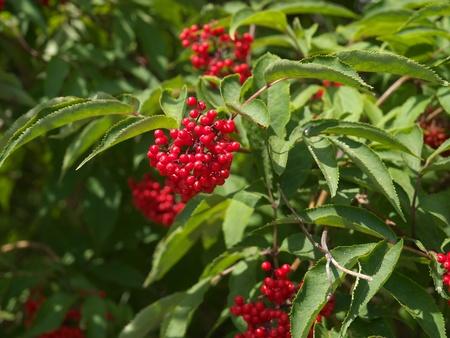 bush to grow up: Berry cranberry red closeup