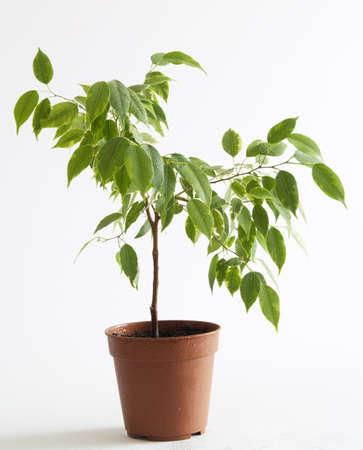 ficus: ficus tree in flowerpot