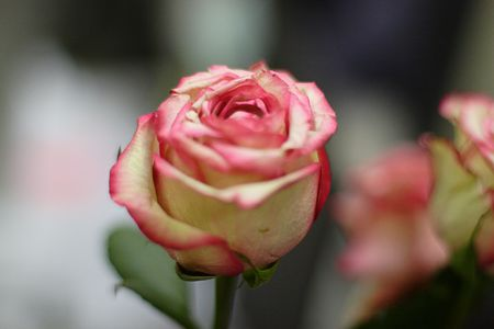 compliments: rose, rosebud, flower, pink, white, bud, plant, present, gift, compliments