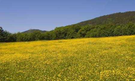 daisys: Mountain field of daisy's in summer  Stock Photo