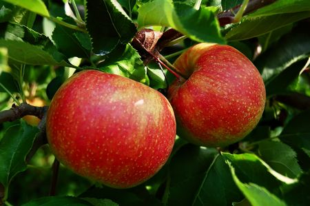 two tree ripened apples