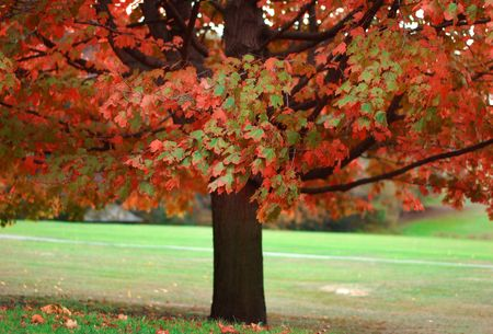 single colorful autumn tree in park
