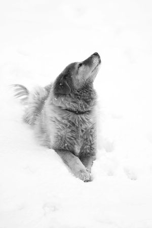Golden Retriever in the snow - black and white Stock Photo