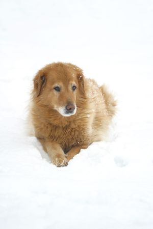retrieve: Golden Retriver mix in the snow