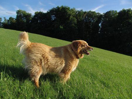 golden retriever mix in grassy park