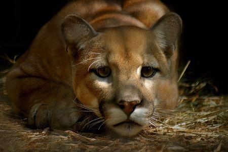 moutain lion - cougar