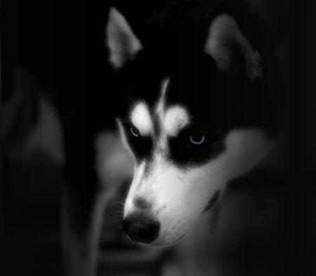 lurk: Cane husky - basso chiave - scary  Archivio Fotografico