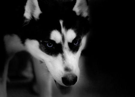alaskian: Husky Dog - low key - scary Stock Photo