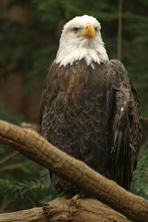 dignit�: aigle chauve