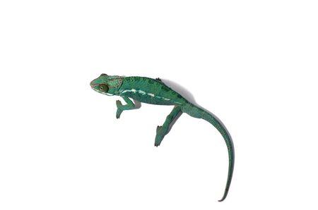 chameleon on isolated background Stock Photo
