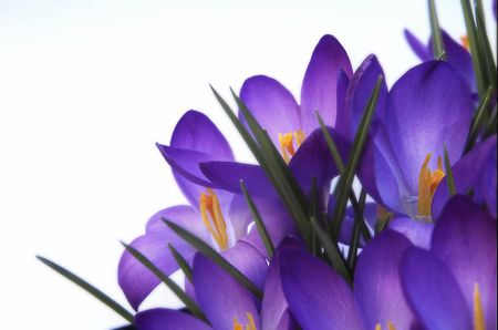 purple crocus against white background Stock Photo