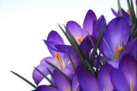 sepals: purple crocus against white background Stock Photo
