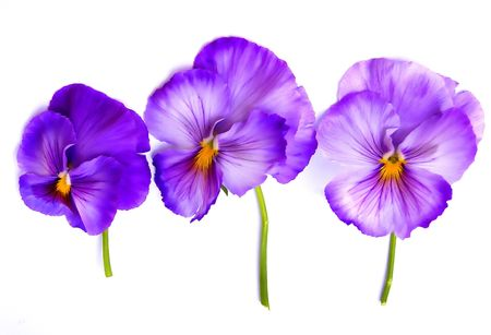 three pansies against white background