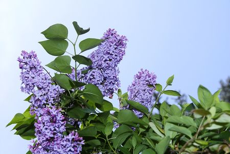 spring blossoms - lilac bush Stock Photo