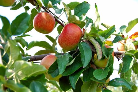 fresh ripened apples on tree in orchard Stock Photo