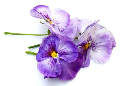 three pansies on white background Stock Photo