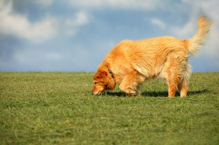 Golden Retrieve mix walking on grass against blue sky and clouds Stock Photo