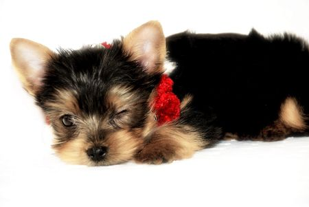 cute little  Yorkshire Terrier with red and white Christmas necklace - puppy winking on isolated white background