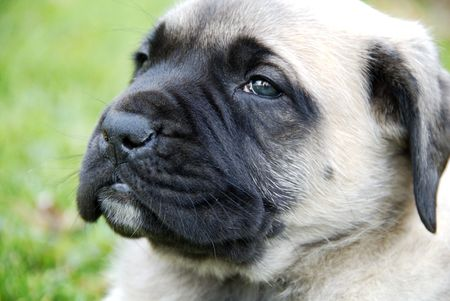 a portrait of a very young English Mastiff puppy sitting in the grass Stock Photo - 673212