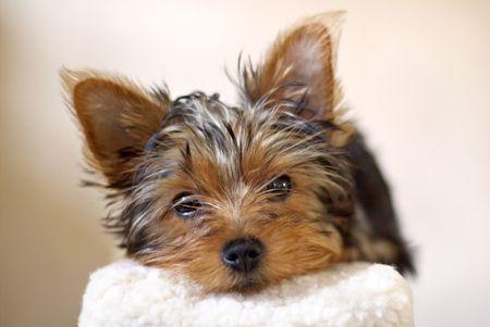 Yorkshire Terrier puppy looking straight ahead