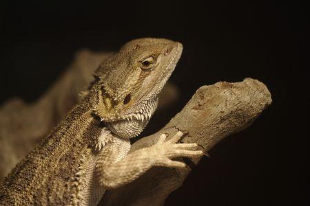 bearded dragon reptile on log photo
