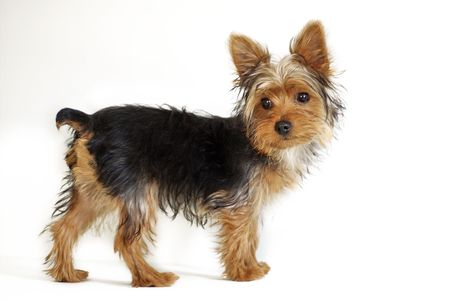young Yorkshire Terrier puppy against white background with shaggy fur Stock Photo
