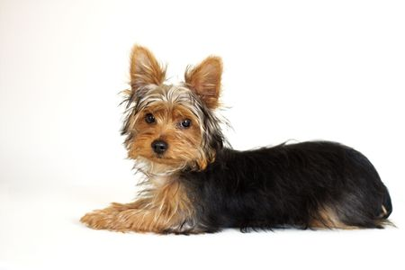yorke: young Yorkshire Terrier puppy with shaggy coat against white background